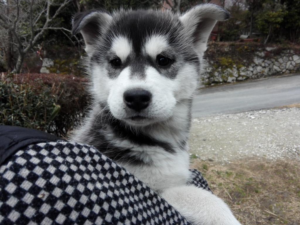 シベリアンハスキー子犬